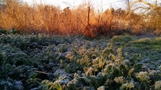 morning-frost