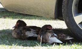 Resident ducks enjoying the shade of our car