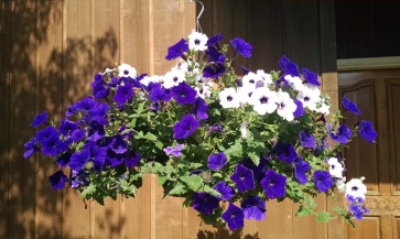 Petunias at the office