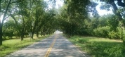 Tunnel of pecan trees