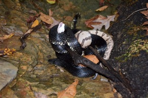 Why you shouldn't kill black snakes