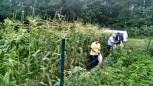 Corn picking excursion