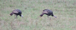 A couple of the turkeys that visited the pasture today