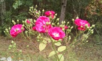 There was only one bloom on the rose bush on Sunday
