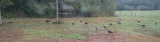 Turkeys were back this morning