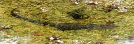 Resident gator