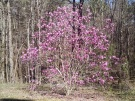 The tulip magnolia in our back yard is still in full bloom