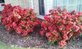 Beautiful azaleas just outside our door