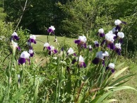 Irises blooming at Helen's