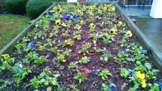 Pansy bed at the nursing home