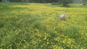 These yellow flowers are blooming everywhere