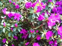 Beautiful azalea blooming at Baker Dr