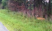 Deer beside the road