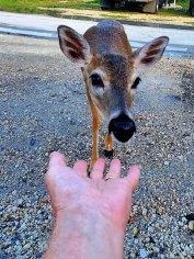 Key deer like chips